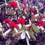 kwitnące rododendrony dodają Himalają kolorytu