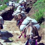 objuczona karawana mułów na szlaku