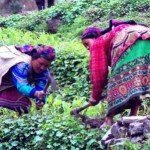 mieszkanki himalajskich wiosek przy pracy w polu