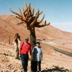 kaktusy - kandelabry ich wysokość dochodzi do 3 metrów